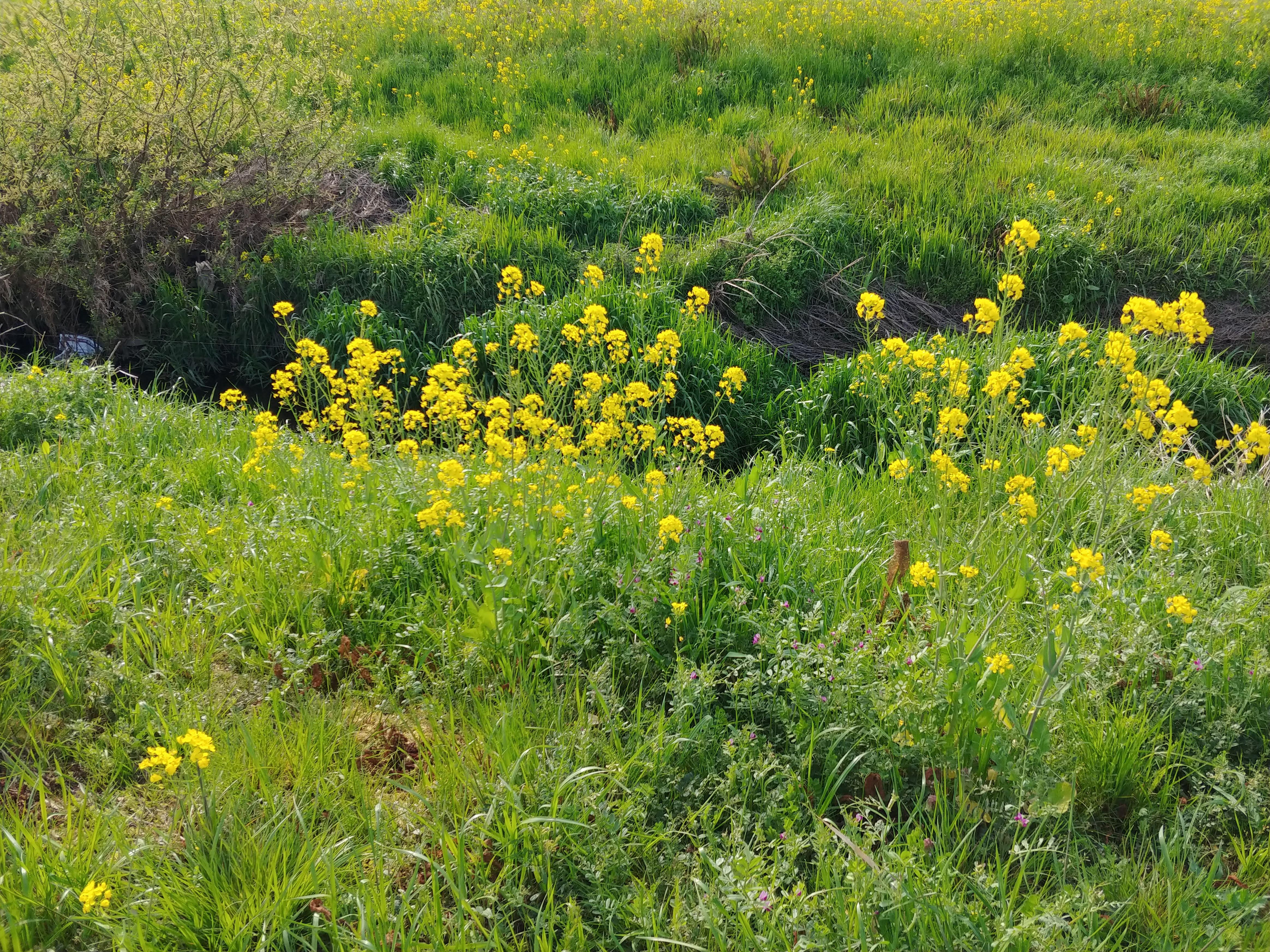菜の花とVスト、鈴蘭苑のオイキムチなプチツーリング ~野に咲く花のように~